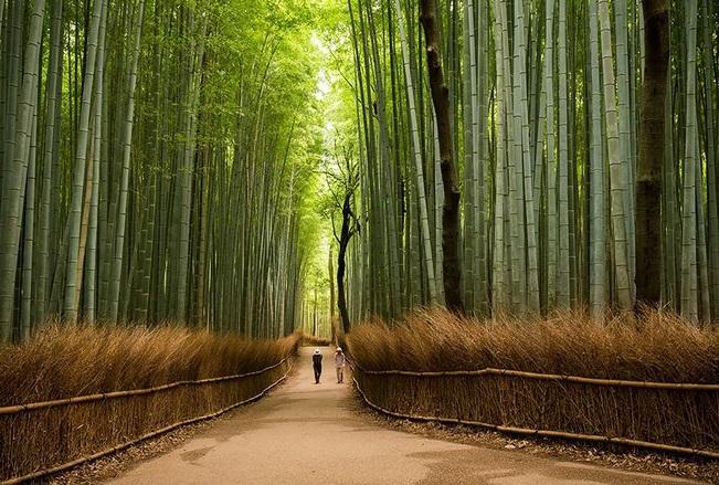 rừng trúc tại Kyoto Nhật Bản